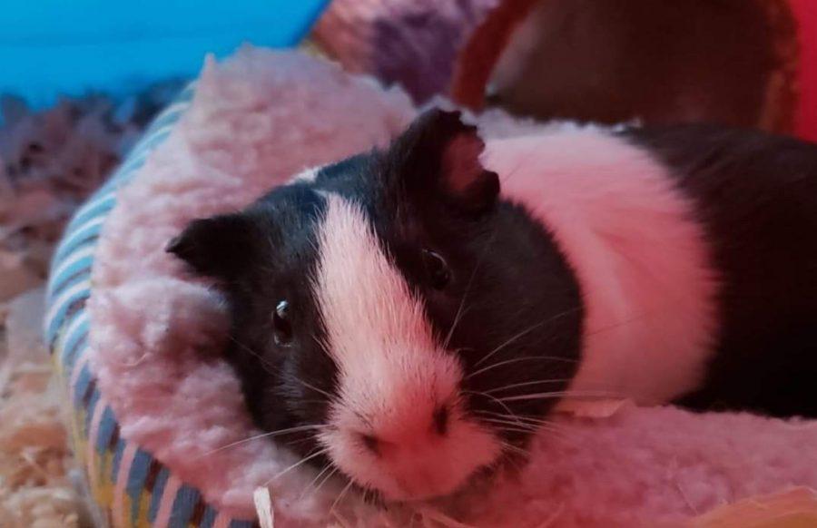 Destiny+Bucher%27s+guinea+pig